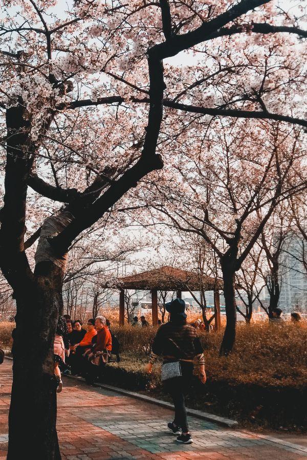 Festival des fleurs de printemps à Yeouido