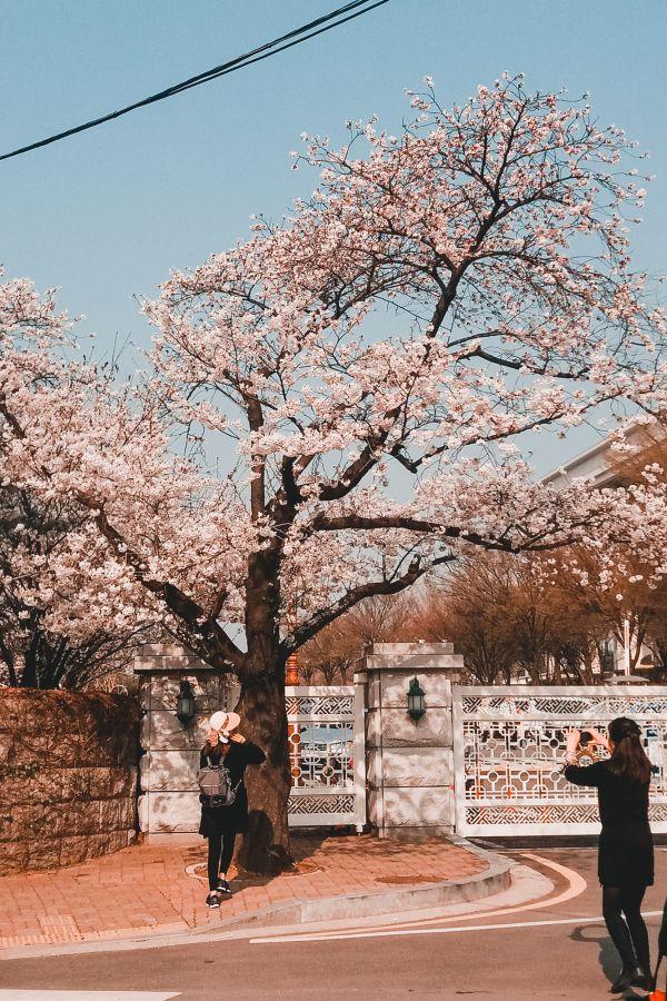 cerisiers en fleurs au Yeongdeungpo Yeouido Spring Flower Festival