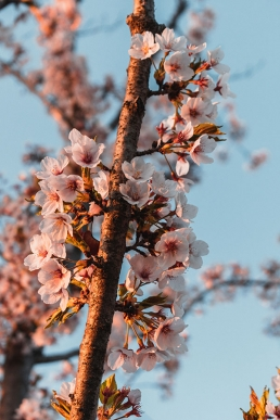 Branche de fleurs de cerisier en Corée du Sud