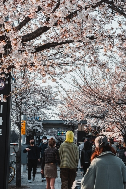 Fleurs de cerisier à Yeouinaru