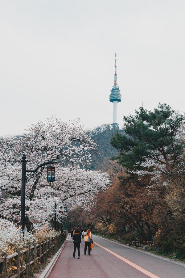 N Seoul Tower cerisiers en fleurs