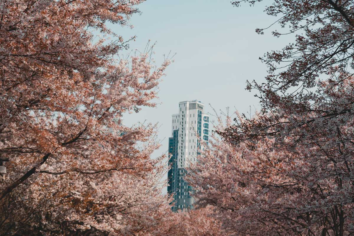 Seoul forest cerisiers en fleurs