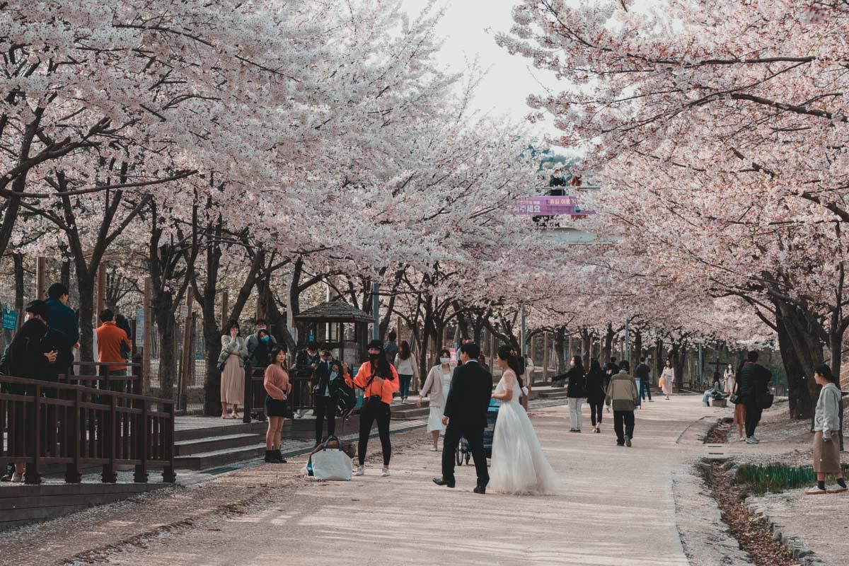 Seoul forest floraison des cerisiers