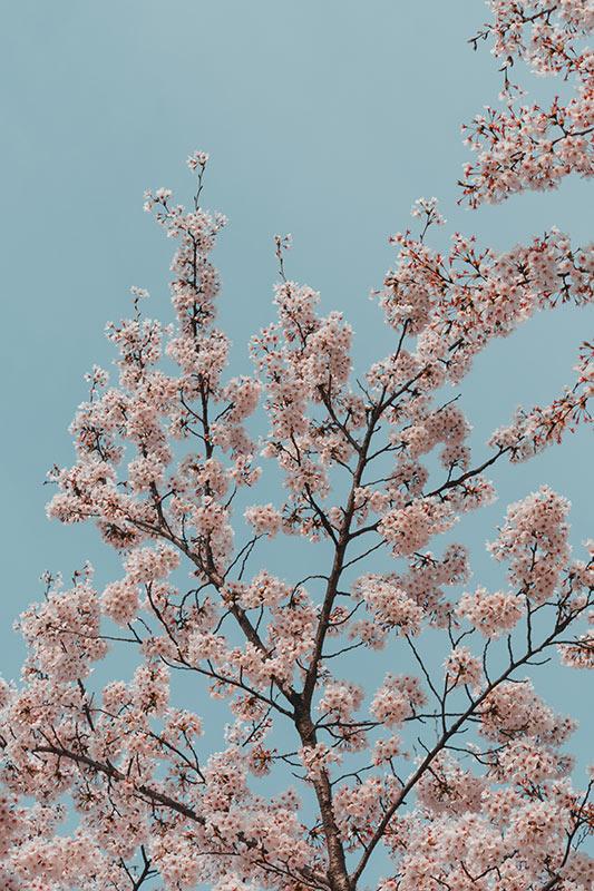 Fleurs de cerisier coree du sud