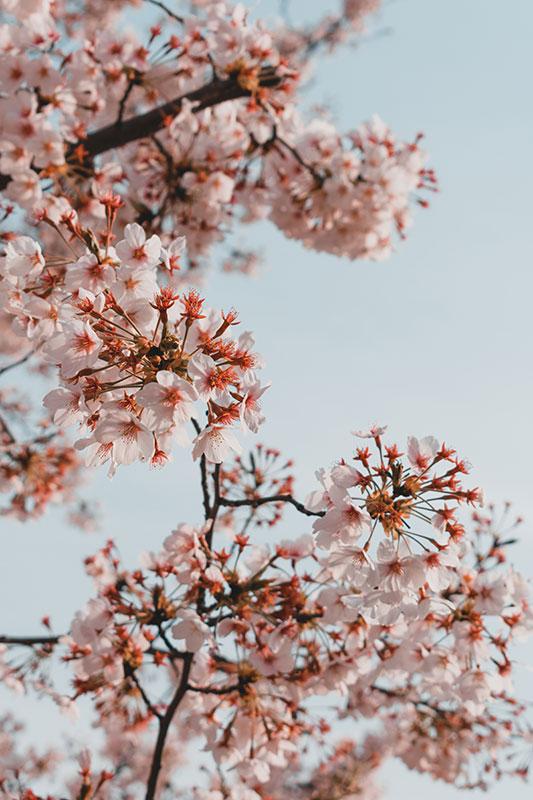 Fleurs de cerisier coree