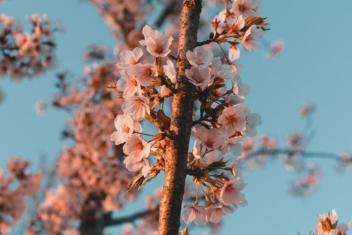 cerisier en fleur coree du sud