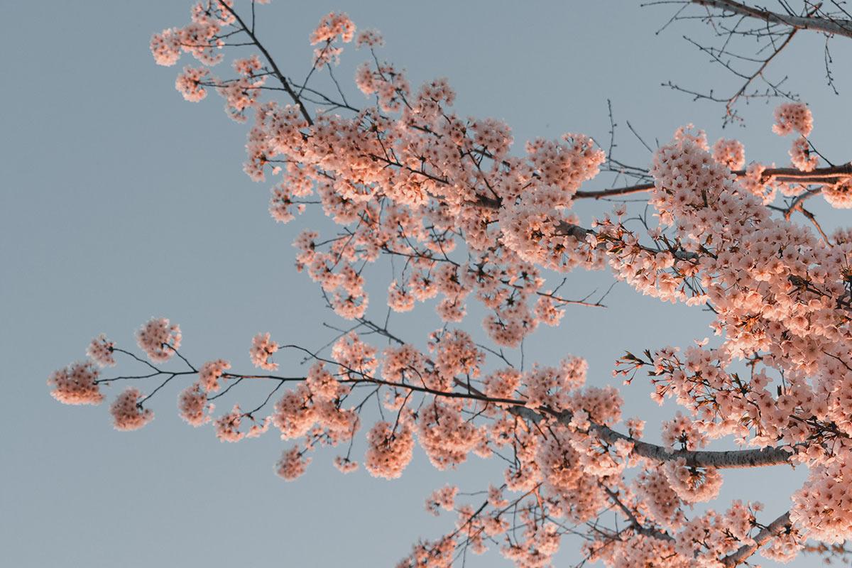 cerisier en fleur coree