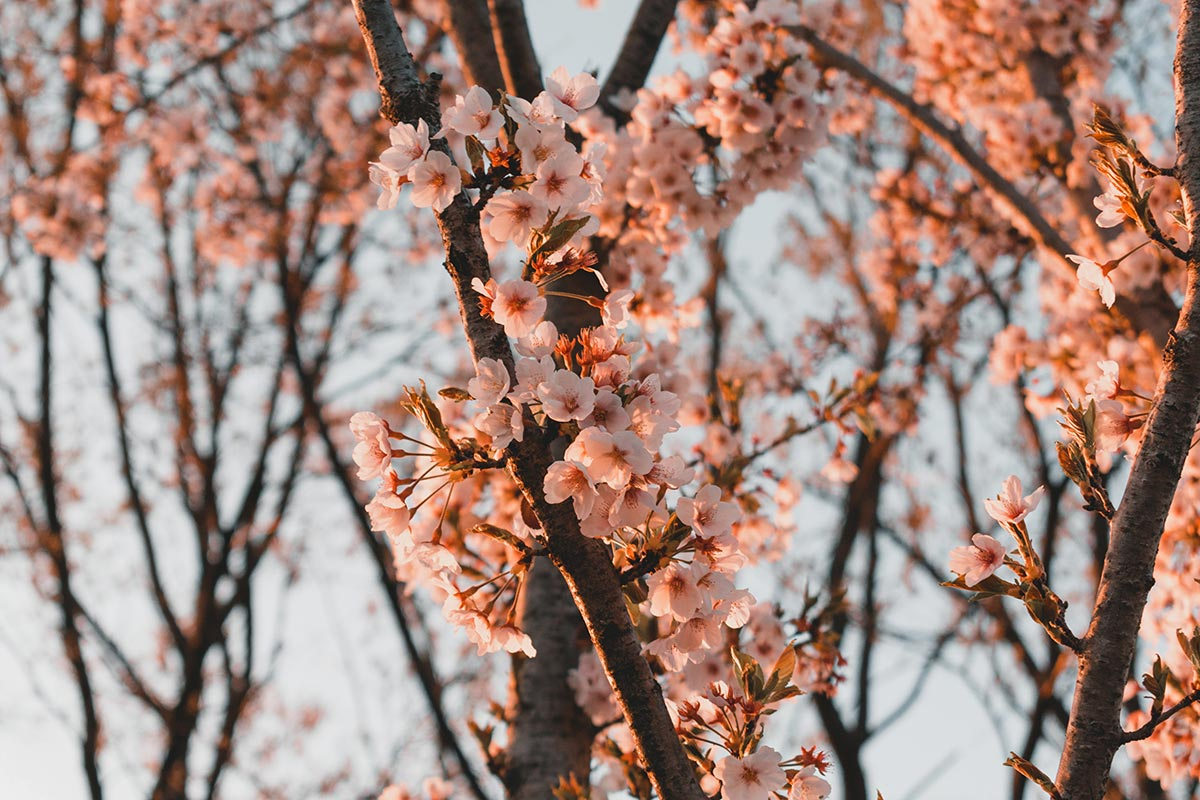 cerisier en fleur haneul park seoul