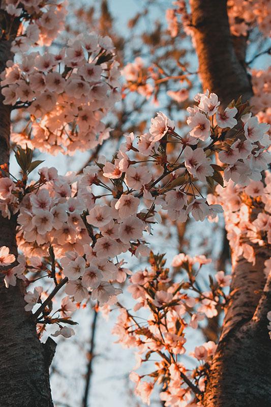 cerisiers en fleurs corée