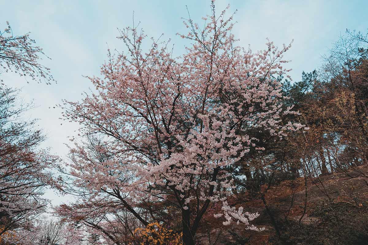 cerisiers en fleurs coree du sud dates