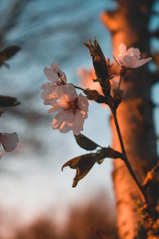 cerisiers en fleurs coree