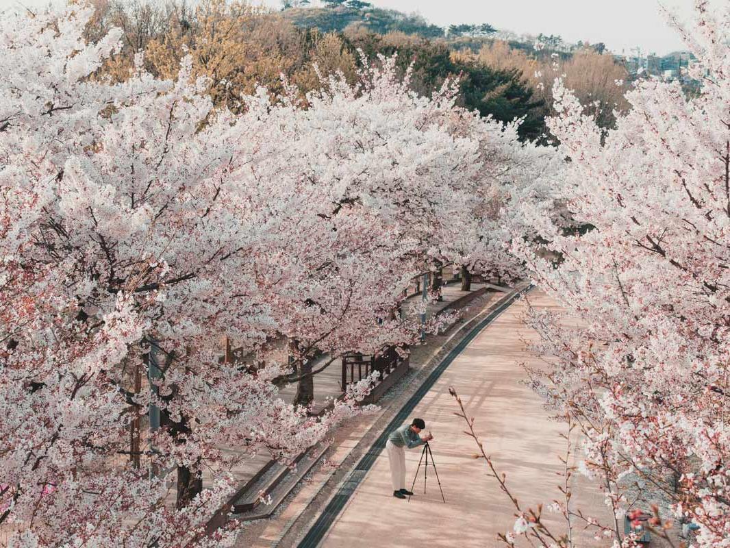 cerisiers en fleurs seoul