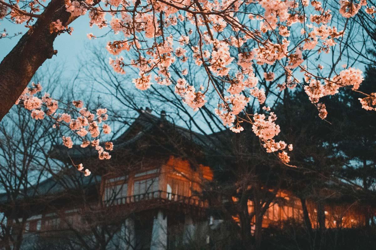 Fleurs de cerisier à l'Assemblée Nationale, Séoul