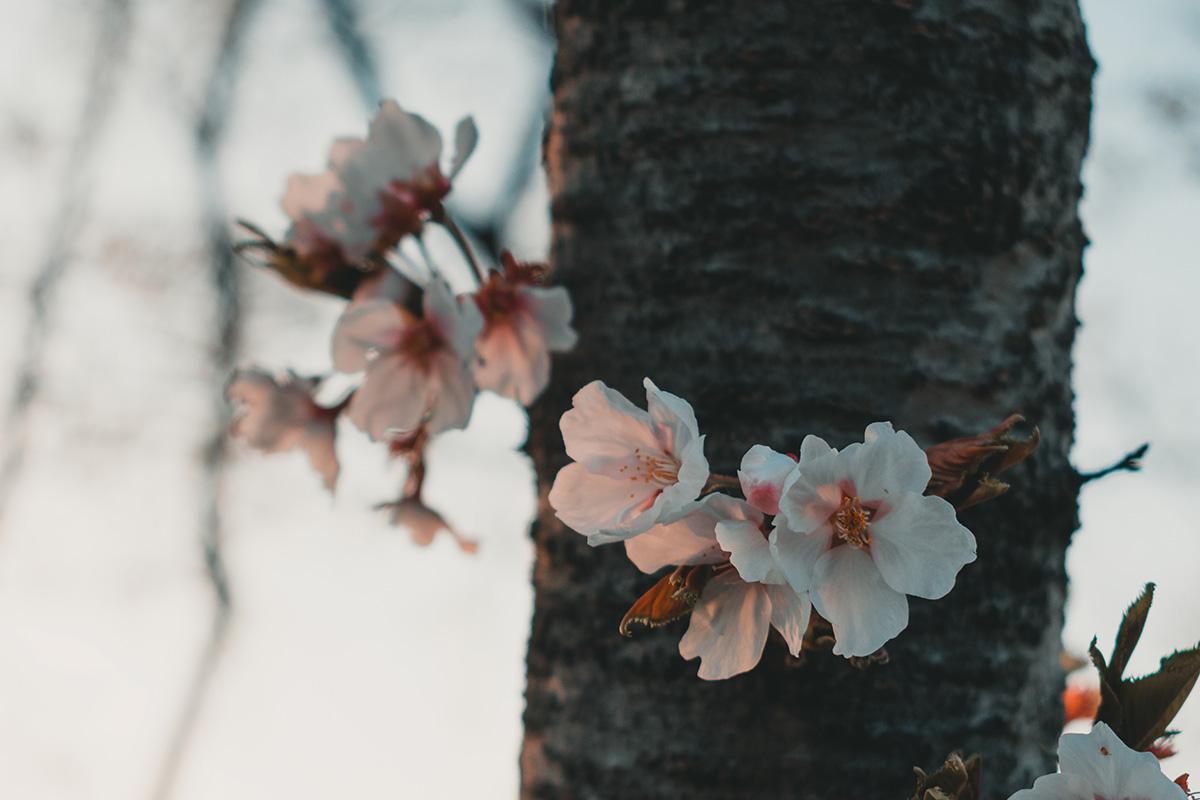 ou voir les cerisiers en fleurs en coree du sud