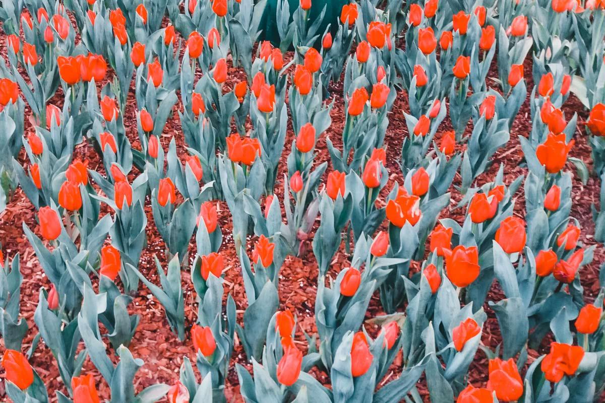 tulipe corée du sud