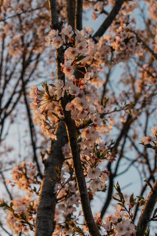 Haneul Park cerisiers en fleurs
