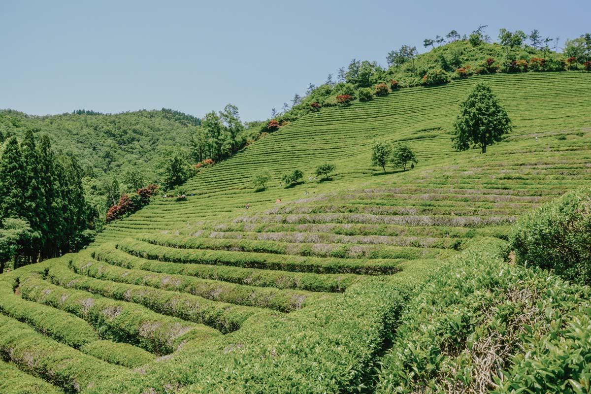 Plantation de thé vert de Boseong